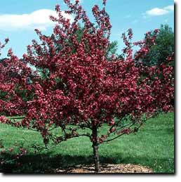Red Jewel Upright Compact Habit With White Flowers For Spring Bloom Produces Fruit And Is Disease Resistant Height About 15
