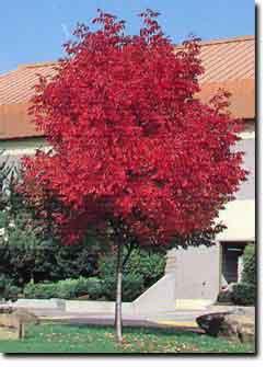 Dany tree service inc shade trees for Best small shade trees
