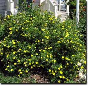 Dany tree service inc shrubs a very bushy yellow or white flowering shrub with upright stems forming a rounded outline it prefers fertile moist well drained soils but can tolerate mightylinksfo